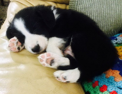 Border collie puppy cropped